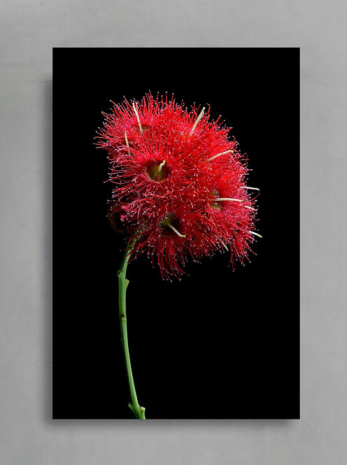 Wildfire Blossoms ~ Australian Botanical Wall Art ~ Red Floral Photography Print therandomimage.com