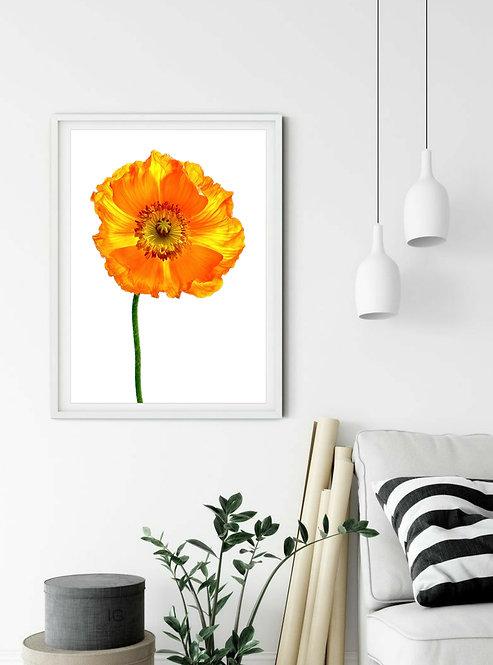 Iridescent Orange Poppy~ Bright Floral Print therandomimage.com