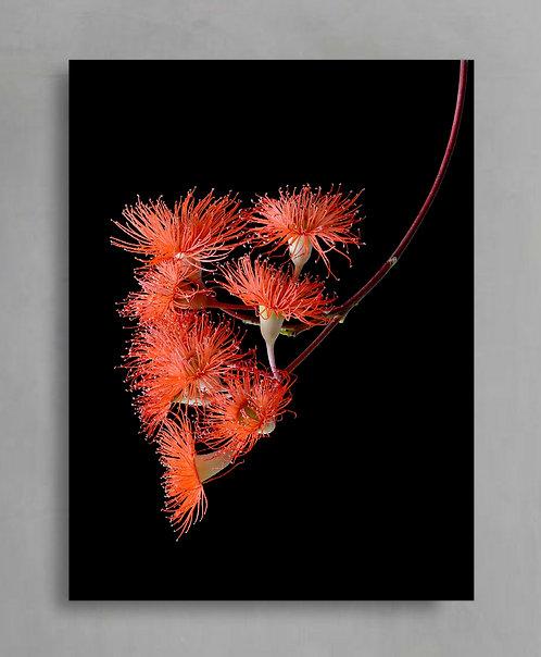 Orange Flowering Gum ~ Australia Floral Wall Art Print therandomimage.com