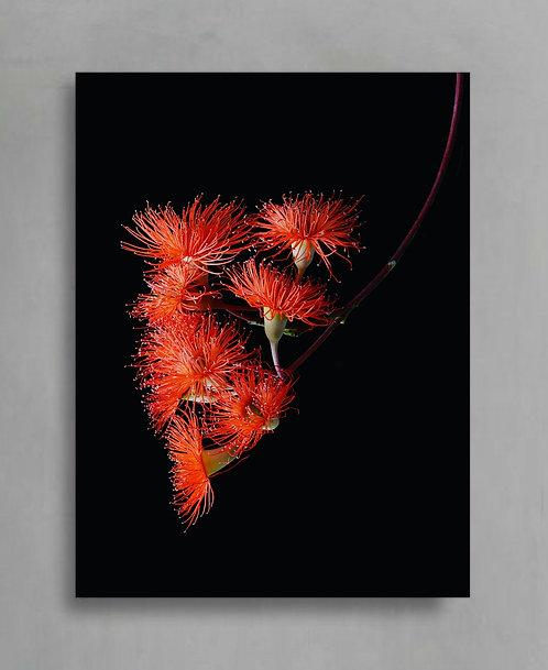 orange flowering gum australian native plant print therandomimage.com