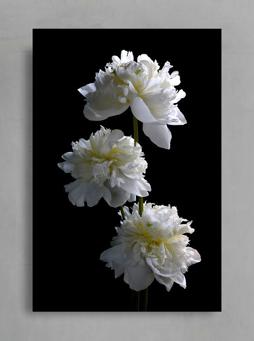 Three White Peonies ~ Digital Download therandomimage.com