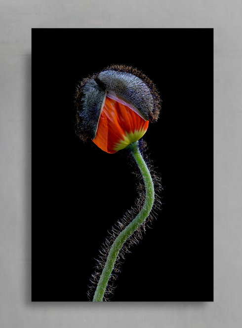 Orange Poppy Flower Bud ~ Botanical Wall Art Print therandomimage.com