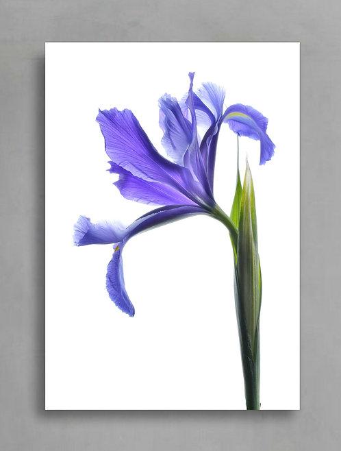 Blue Iris - Printable Photography Download therandomimage.com