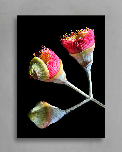 Eucalyptus Blossoms ~ Australian Nature Photography therandomimage.com