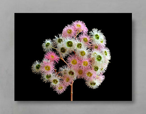 Pink and White Gum Blossoms ~ Australian Nature Photography Print therandomimage.com
