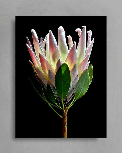 King Protea ~ Floral Wall Art ~ Flower Photography Print ~ By Nadia Culph therandomimage.com