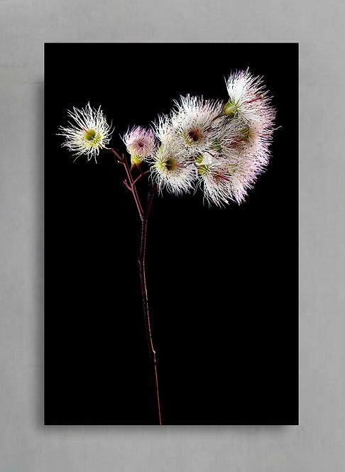 In Bloom ~ Eucalyptus Flowers Fine Art Print ~ Australian Floral Photography therandomimage.com