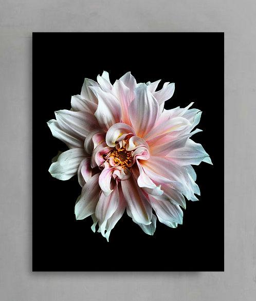 pink dahlia still life flower photography therandomimage.com