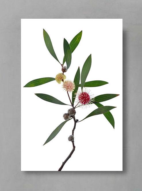 Hakea Laurina ~ Australian Nature Print ~ Colourful Floral Wall Art therandomimage.com