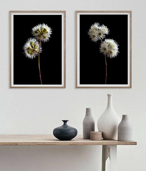 Eucalyptus Blossoms Diptych ~ Australian Floral Art therandomimage.com