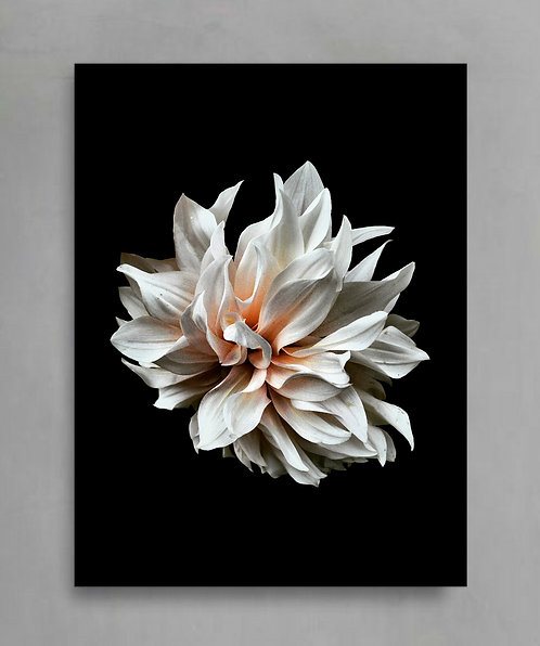 dahlia flower print still life floral photography therandomimage.com