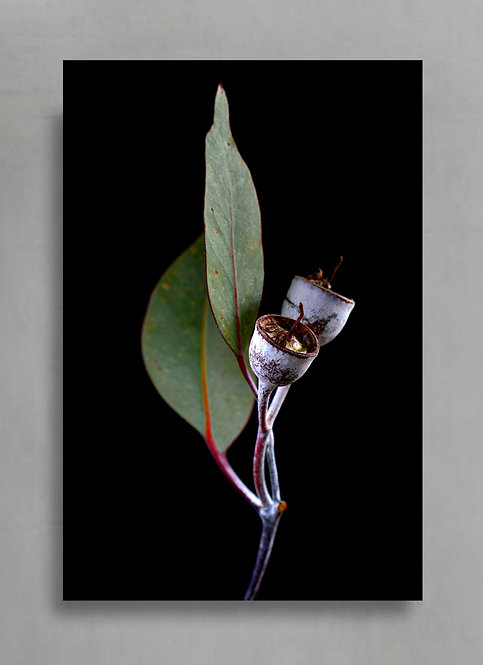 Princess Pods ~ Gum Nuts Photography Print ~ Australian Nature Wall Art therandomimage.com