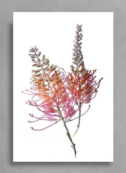 grevillea flowers Australian native botanical print therandomimage.com