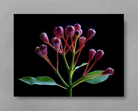 Red Flowering Eucalyptus ~ Australian Botanical Wall Art therandomimage.com