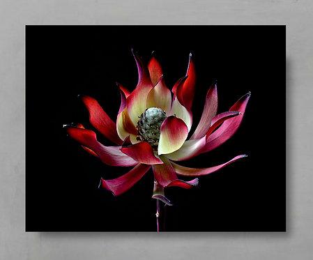 Leucadendron ~ Moody Flower Photography therandomimage.com
