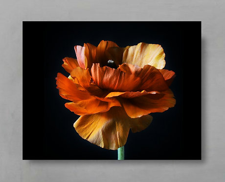 Orange Ranunculus ~ Still Life Flower Artwork therandomimage.com