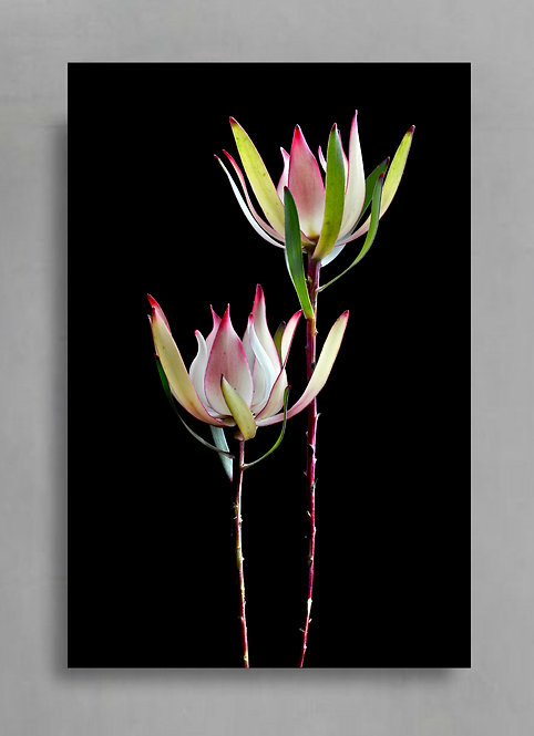 Leucadendron ~ Red Gem ~ Flower Photography Print therandomimage.com