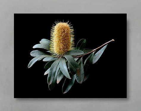 Banksia Branch ~ Australian Native Flora Artwork therandomimage.com