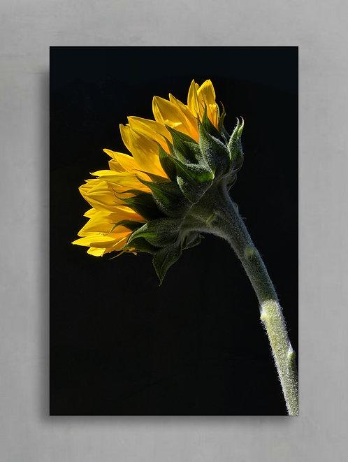 sunflower flower photography print therandomimage.com