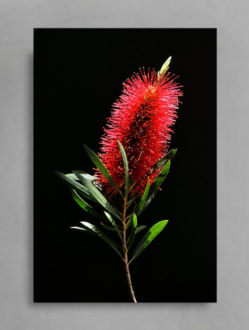 Red Bottlebrush Australian Native Flower Art therandomimage.com