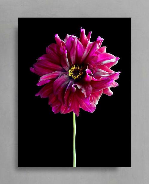 Magenta Dahlia Re-imagined ~ Dramatic Floral Print therandomimage.com
