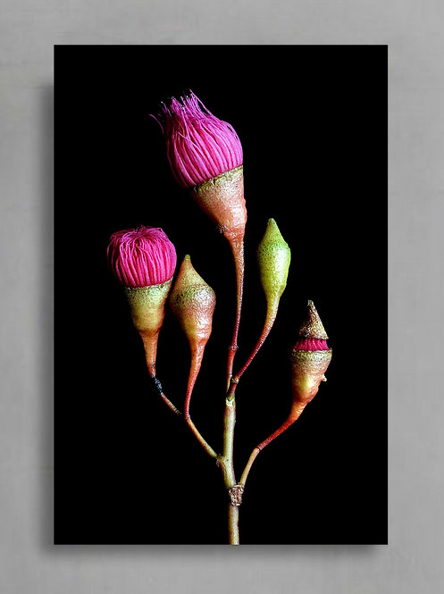 Five Stages of Gum Blossom ~ Australian Nature Wall Decor therandomimage.com