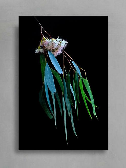Gum Blossoms Artwork ~ Australian Nature Photography ~ Botanical Still Life Art therandomimage.com