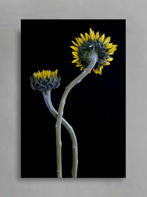 Sunflowers Entwined ~ Dramatic Floral Photographic Wall Art therandomimage.com