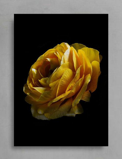 Yellow Ranunculus ~ Moody Floral Wall Art therandomimage.com