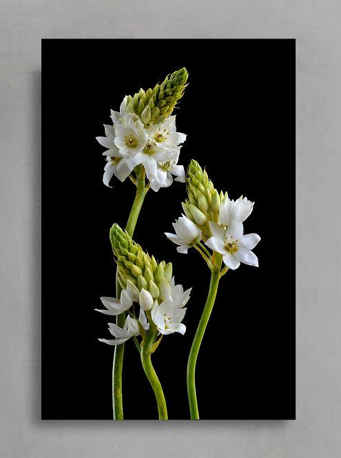Chincherinchee Trio ~ White Floral Photography Print therandomimage.com