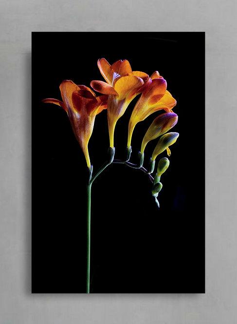 Orange Freesias ~ Colourful Flower Art therandomimage.com