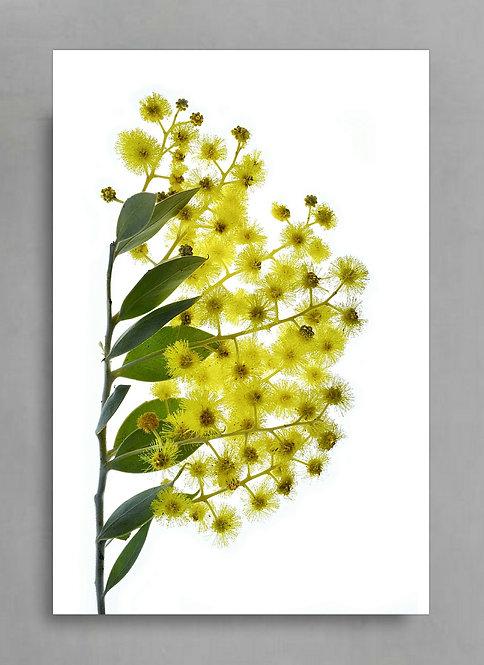 Wattle ~ Digital Download therandomimage.com