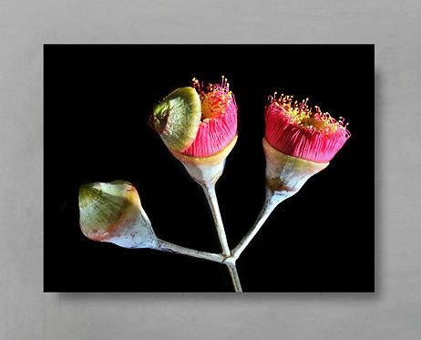 blossoming eucalyptus flowers Australian botanical art therandomimage.com