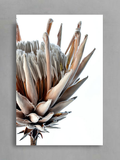 King Protea ~ Macro Photography Flower Print therandomimage.com