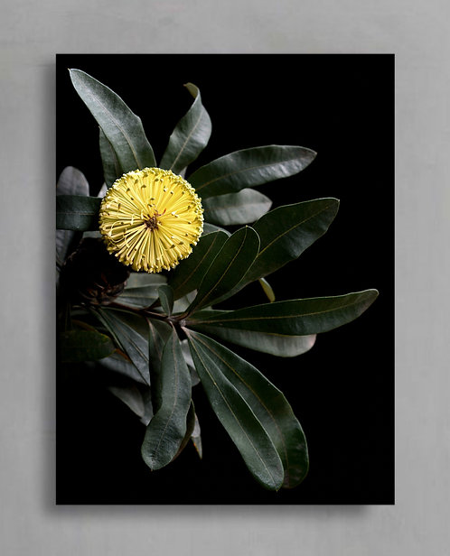 Banksia Sentinel ~ Australian Nature Photography Print by Nadia Culph therandomimage.com
