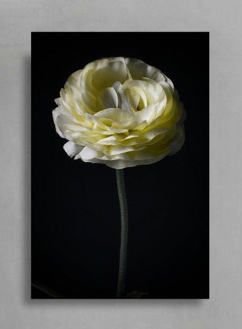 White Ranunculus flower art print therandomimage.com