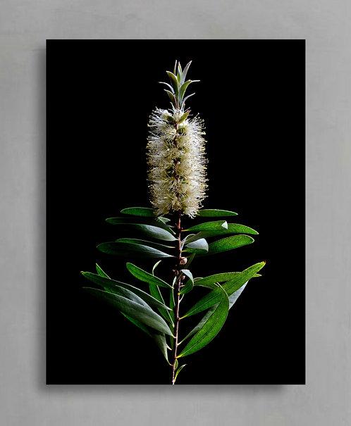Willow Bottlebrush ~ Australian Floral Art therandomimage.com