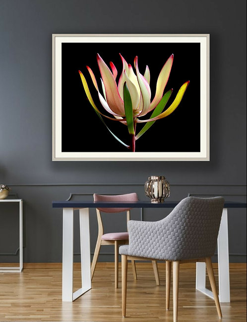 Leucadendron ~ Flower Photography ~ Fine Art Floral Print therandomimage.com by Nadia Culph