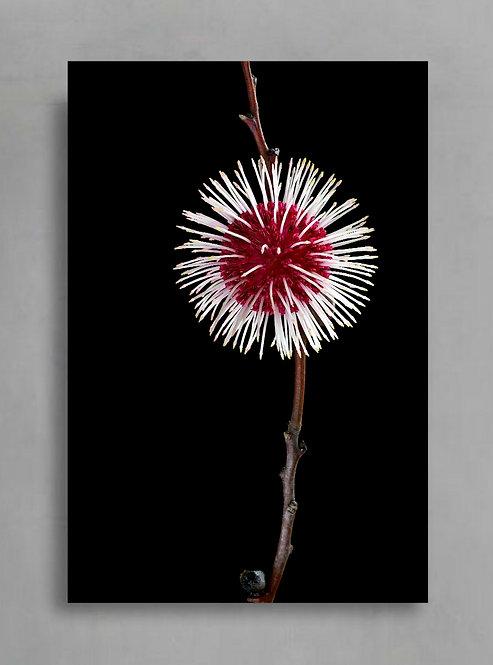 Red Hakea Blossom ~ Australian Nature Photography Print therandomimage.com