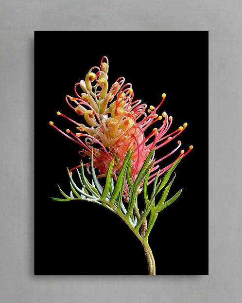 Pink & Yellow Grevillea ~ Digital Download therandomimage.com