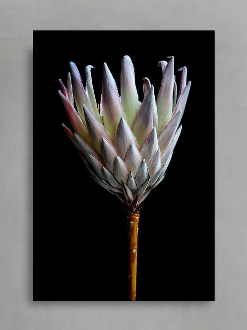 Protea On Black ~ Flower Photography Print therandomimage.com