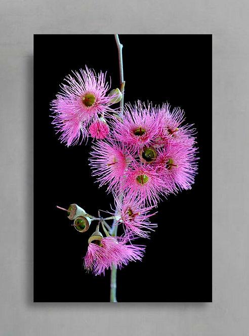 Pink Gum Blossoms Stem ~ Australian Floral Art ~ Flower Still Life therandomimage.com