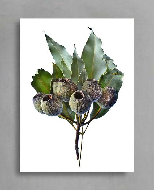 Gum Nuts Branch ~ Australian Plant Photography Print therandomimage.com