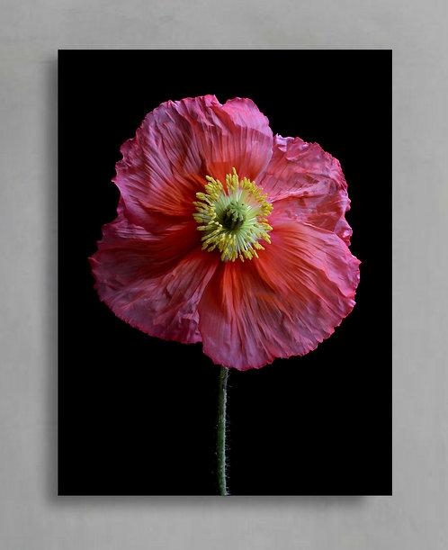Pink Poppy ~ Flower Wall Art Print therandomimage.com