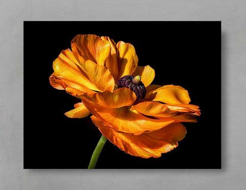 Orange Ranunculus ~ Orange Floral Wall Art therandomimage.com