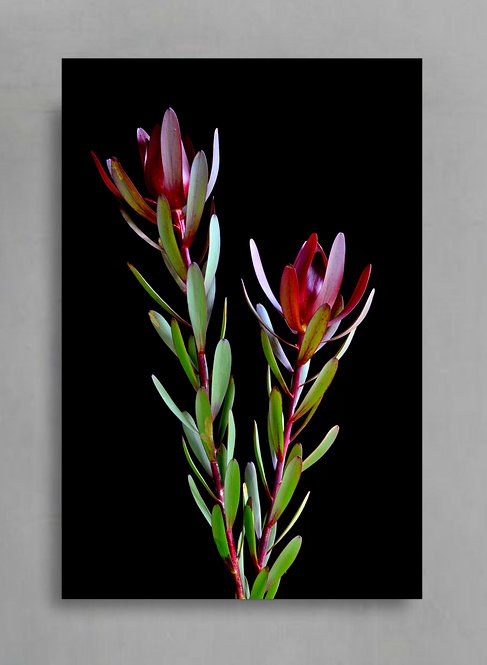 Flowering Leucadendron ~ Red Flower Art Photography therandomimage.com