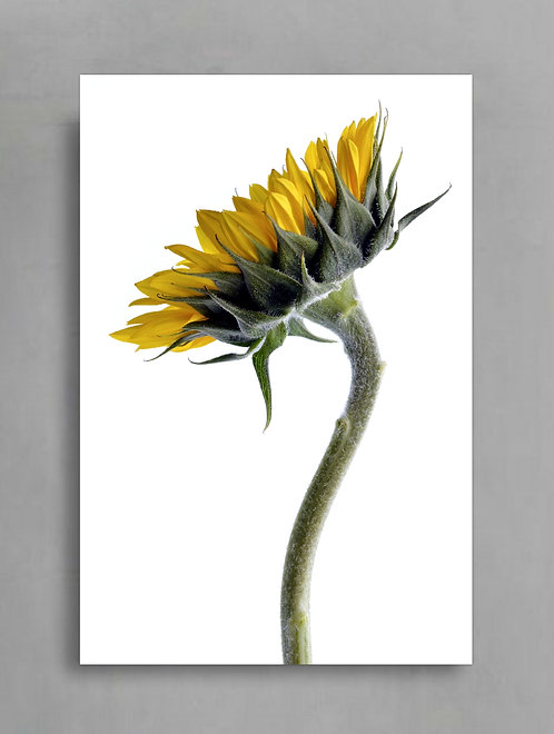 Sunflower On White ~ Bright Floral Wall Print therandomimage.com