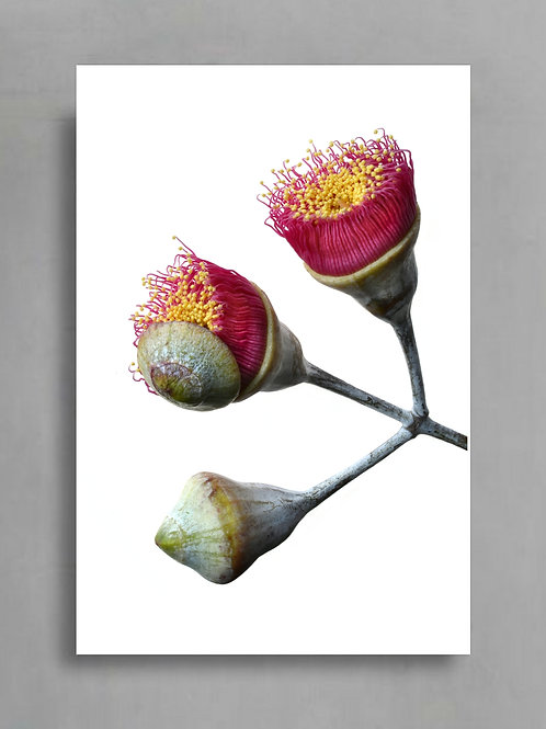 Eucalyptus Blossoms On White ~ Australian Botanical Art therandomimage.com