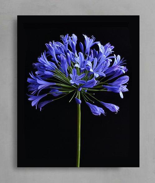 Agapanthus ~ Still Life Flower Art therandomimage.com