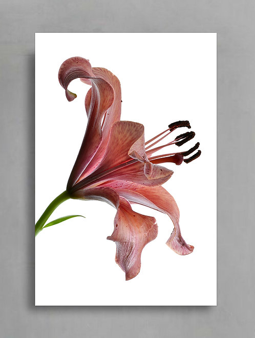 Dusty Pink Tiger Lily ~ Floral Art Print therandomimage.com